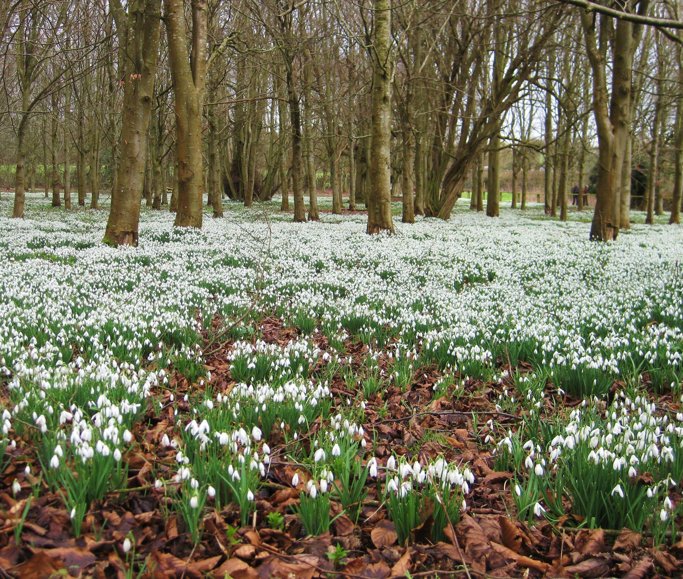 Snowdrops covering the floor at Welford