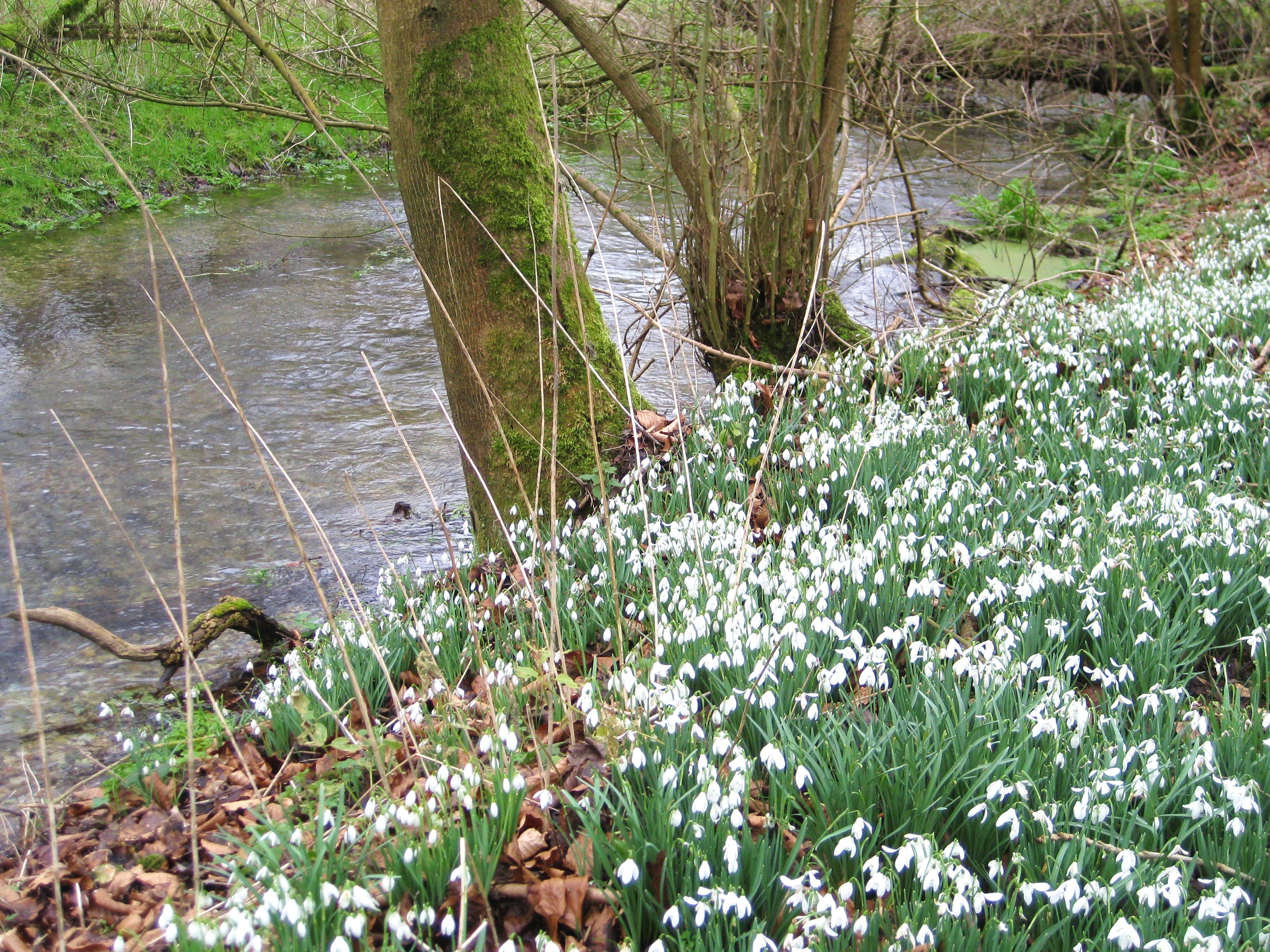 Snowdrops by the river at Welford Park