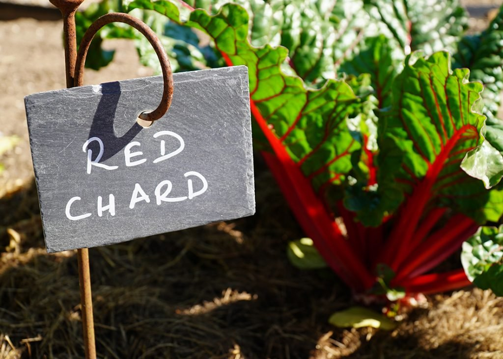Red Chard growing at Lower Lovetts Farm, Berkshire