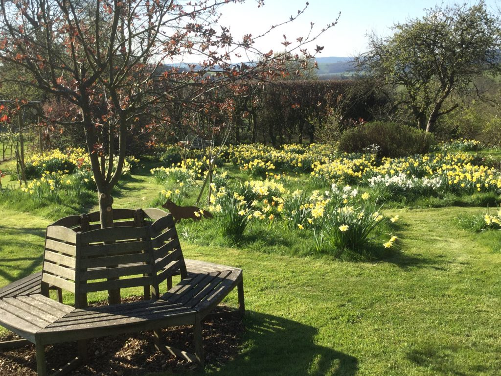 daffodils by bench