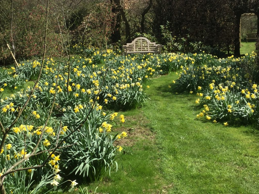 daffodils and bench