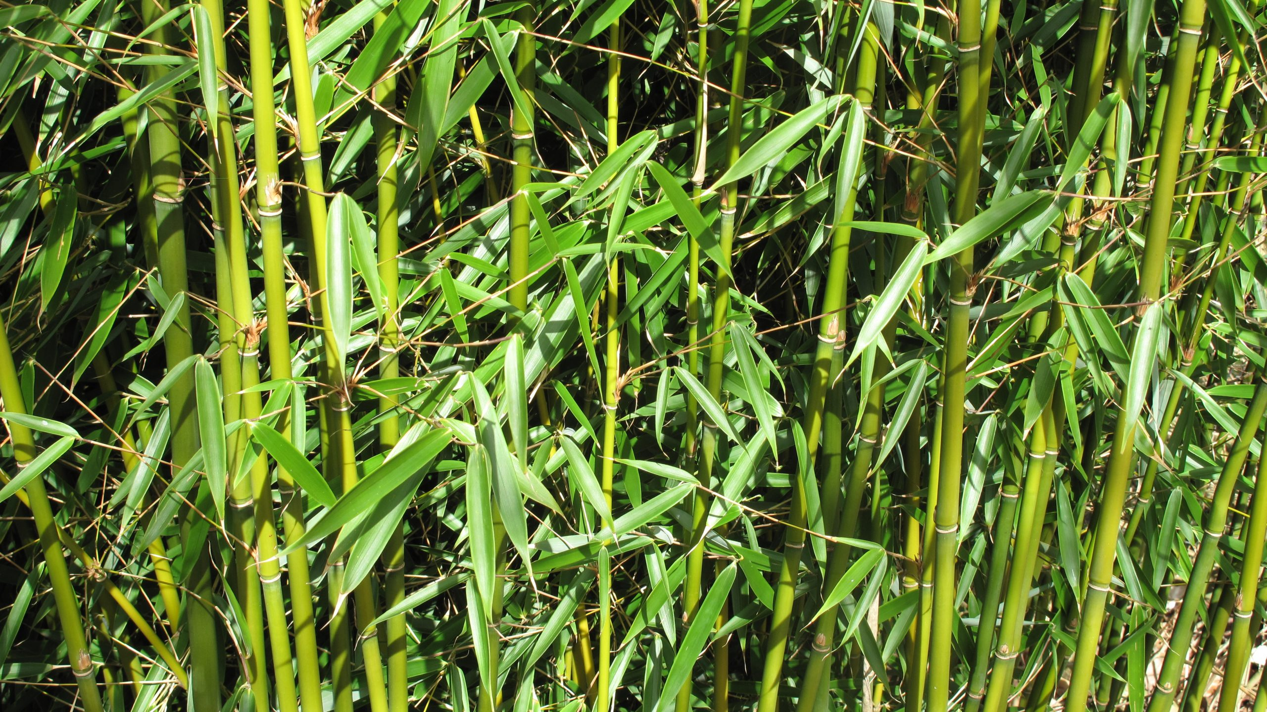 Divide And Conquer How To Repot Bamboo National Garden Scheme