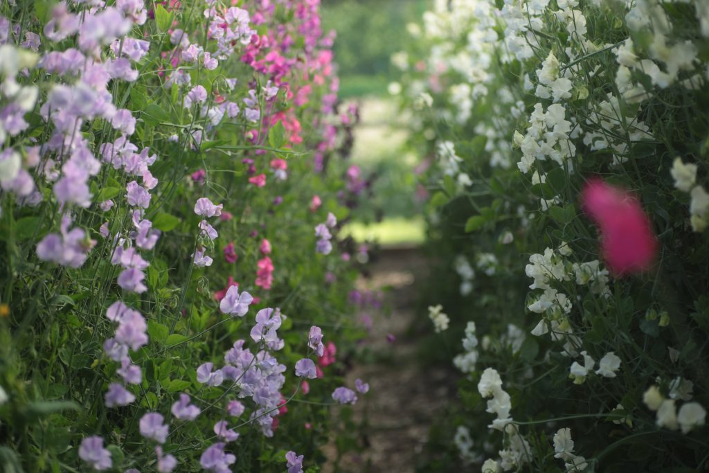 Rows of colourful sweet-peas