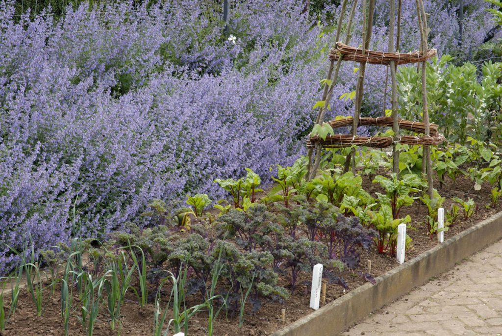 Vegetable patch with lavender
