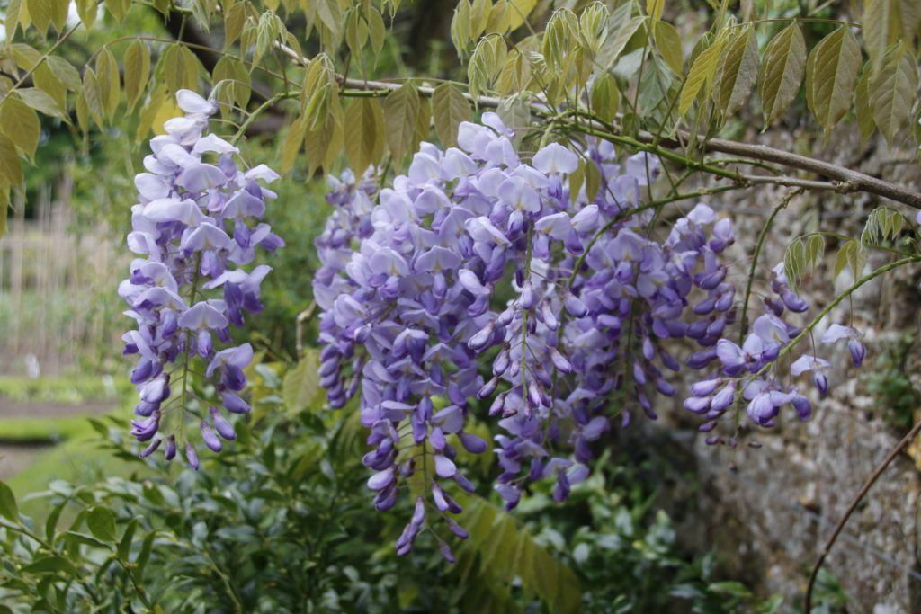 The wisteria sinensis at Fittleworth House, West Sussex