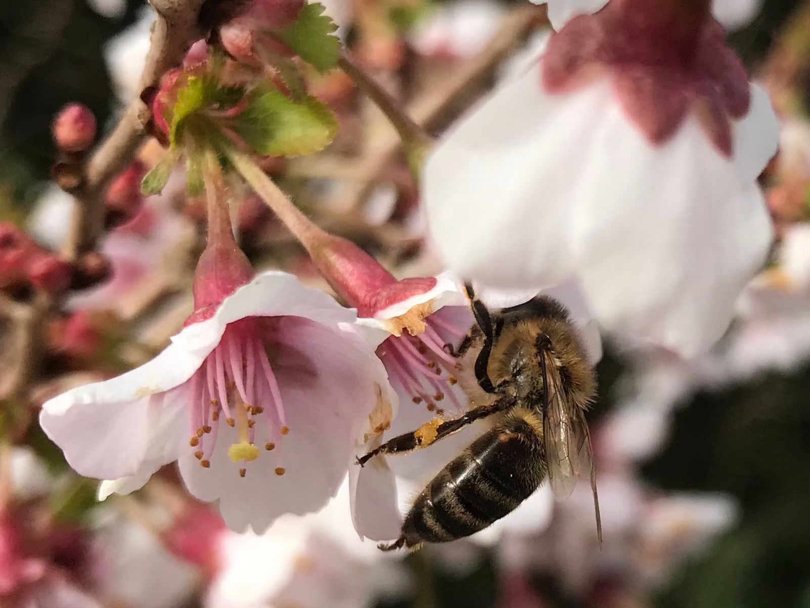 bee blog April bee on ornamental cherry