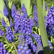 Bee blog April Muscari and Iris