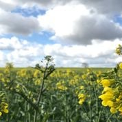 Bee blog April oil seed rape