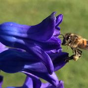bee blog for April Pollen from hyacinth
